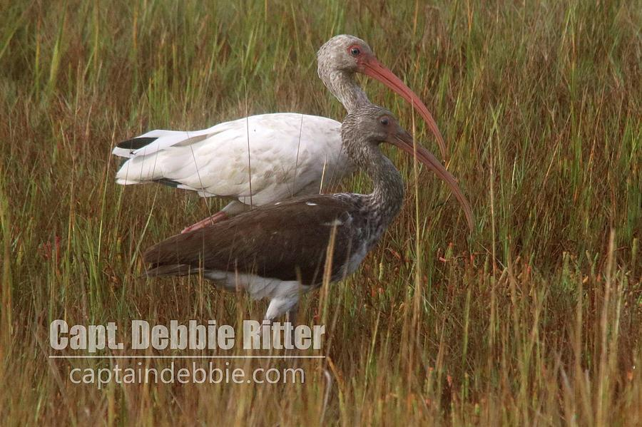 White Ibis Photograph - White Ibis 3457 by Captain Debbie Ritter