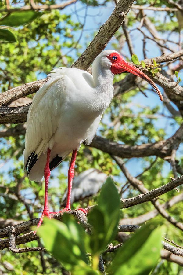 White Ibis in Tree by Bob Slitzan