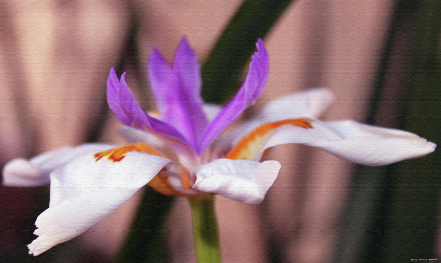 White Iris by Evelyn Patrick