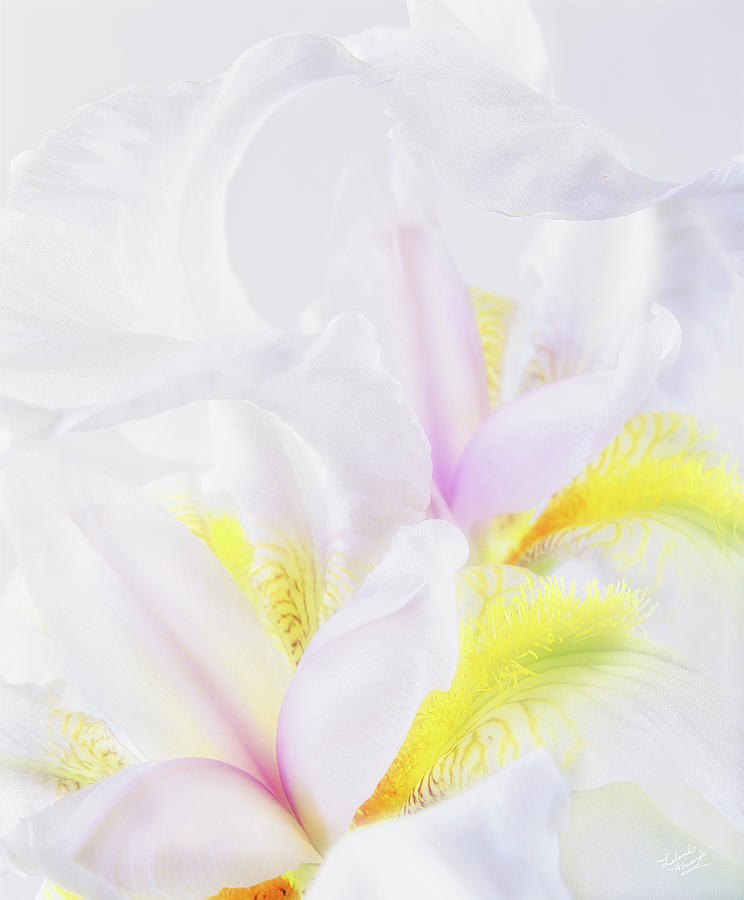 Iris Photograph - White Iris by Leland D Howard