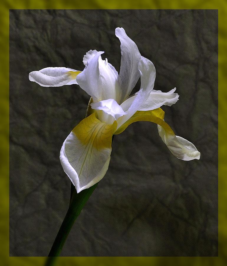 White Iris Photograph - White Iris by Mark Fuller