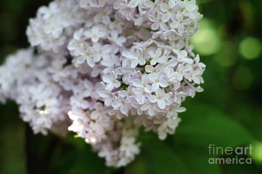 Lilac Photograph - White Lilacs by Laurel Best
