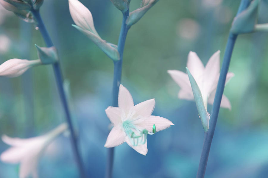 White Lilies Of Hosta Blue Photograph By Jenny Rainbow