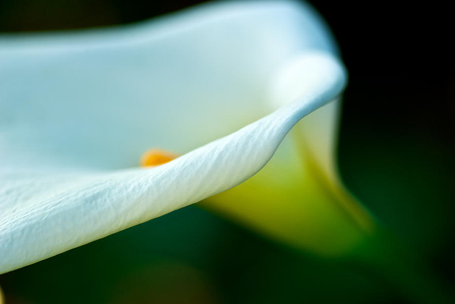 Digital Photograph - White Lily by DRK Studios