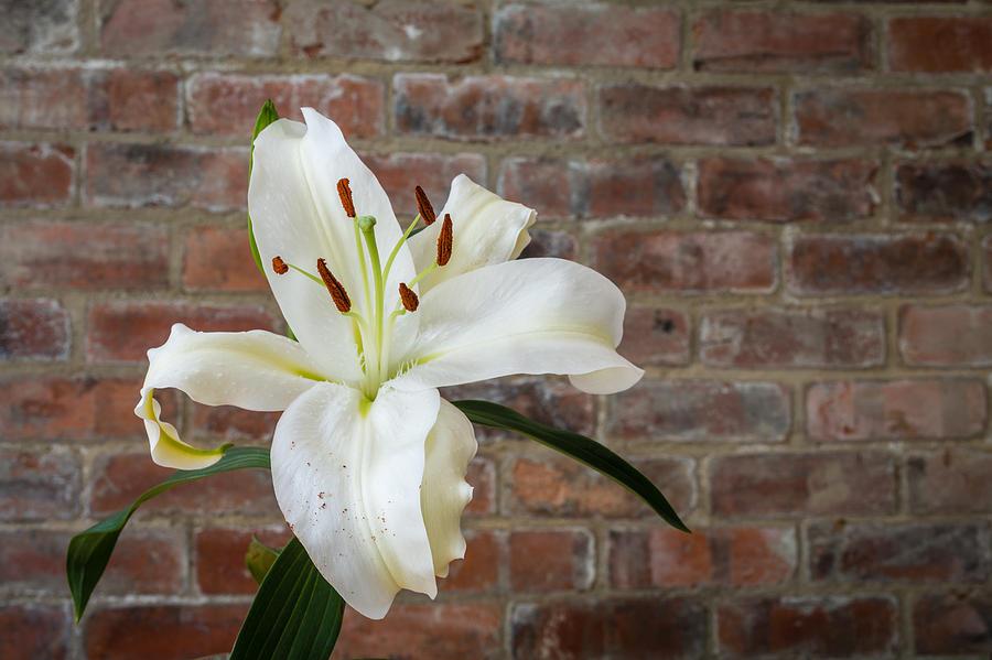 White Lily Photograph