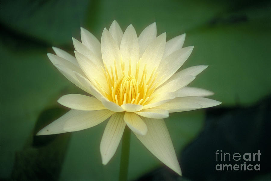 Anther Photograph - White Lily by Ron Dahlquist - Printscapes