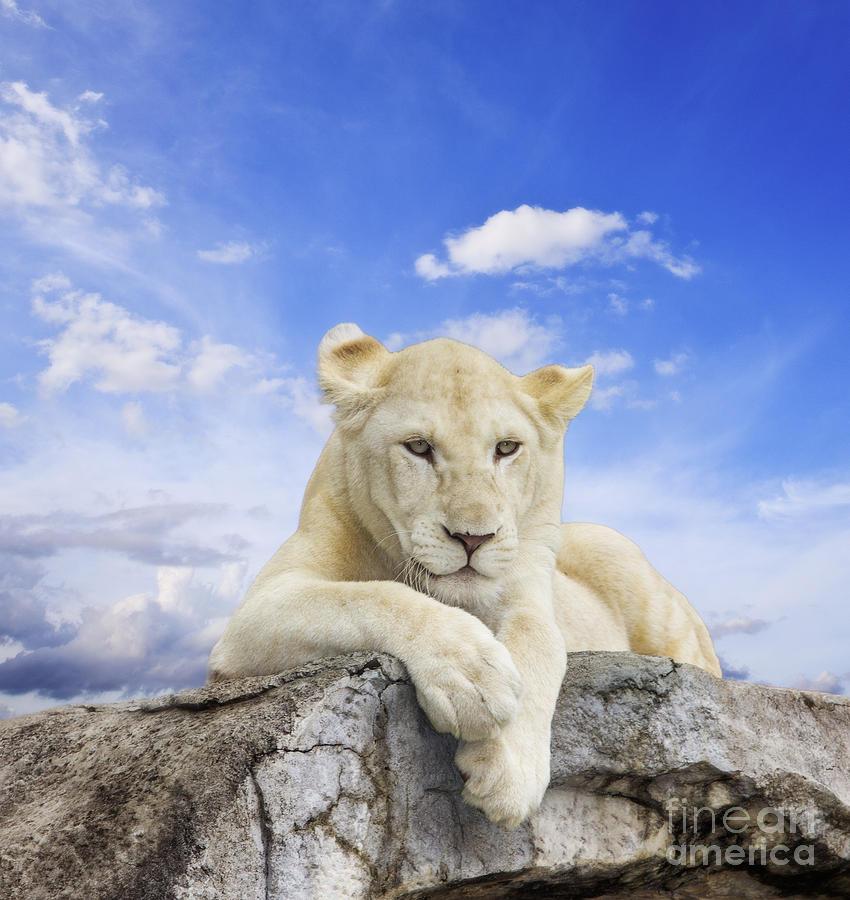 Amazing Photograph - White Lion by Anek Suwannaphoom