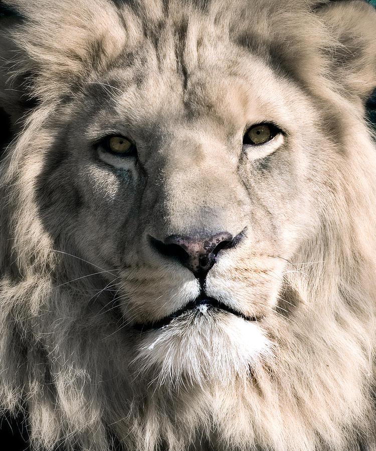 Lion Photograph - White Lion by Dean Bertoncelj