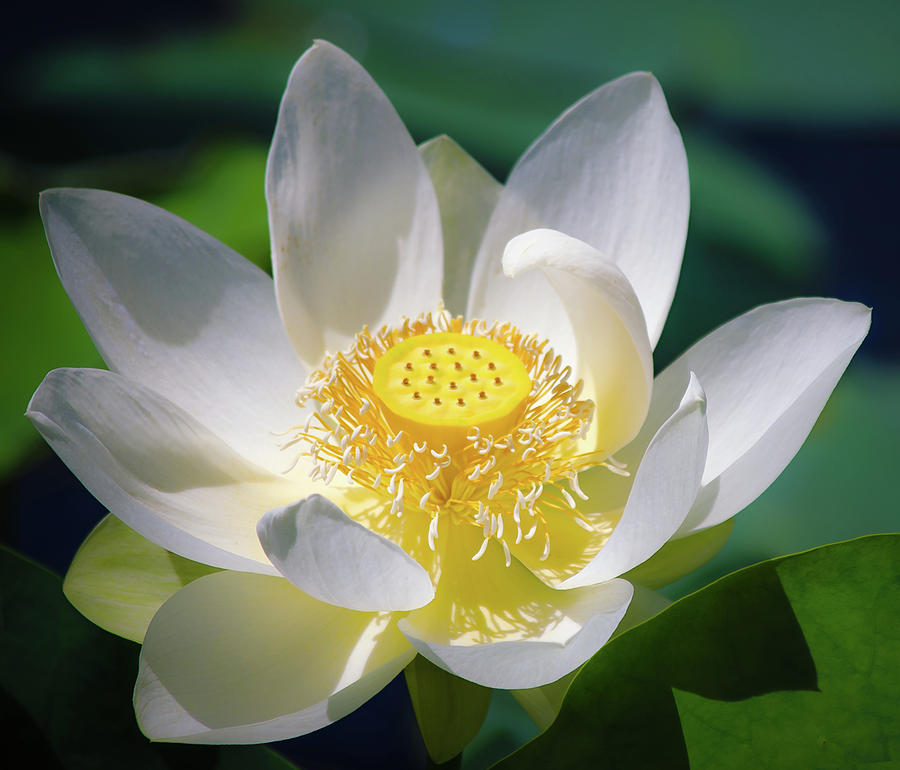 White Lotus Bloom by Julie Palencia