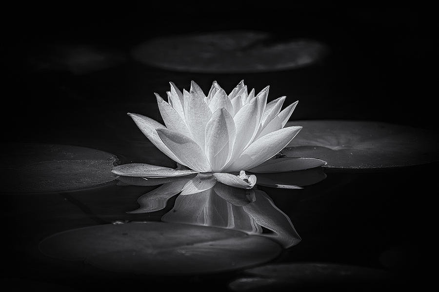 Flower photograph white lotus by robert zunikoff