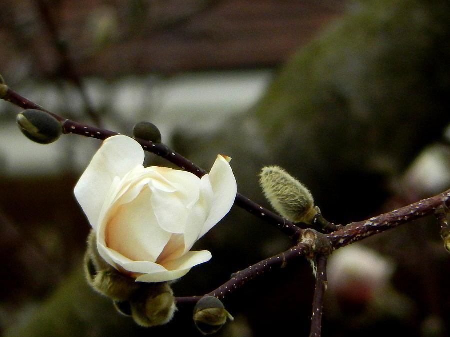 Magnolia Tree Photograph - White Magnolia by Betty-Anne McDonald