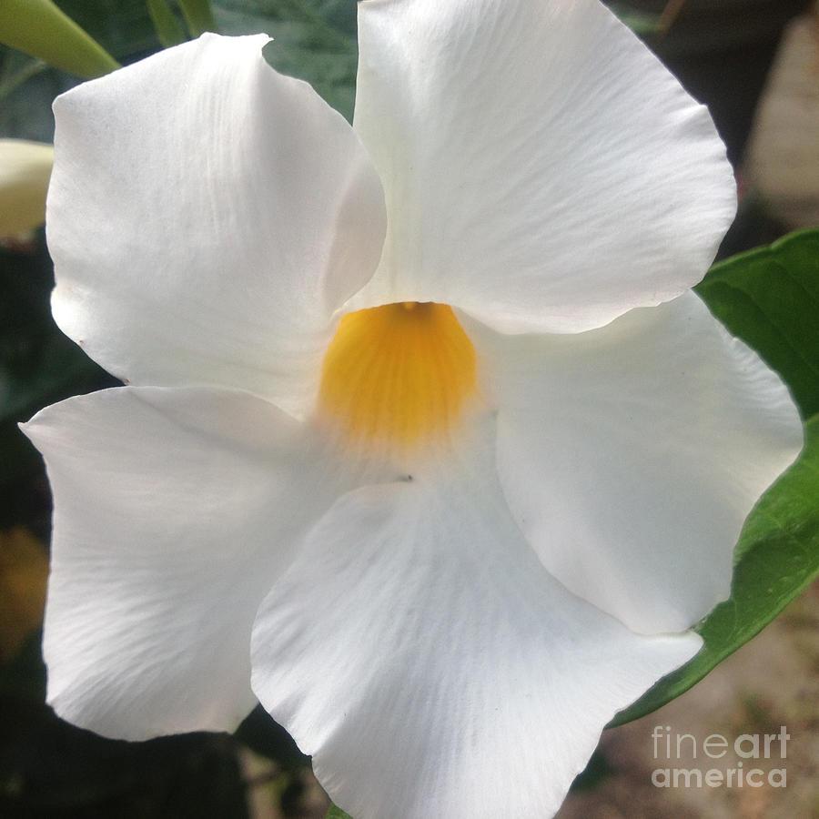 Flower Photograph - White Mandeville by Christine Segalas