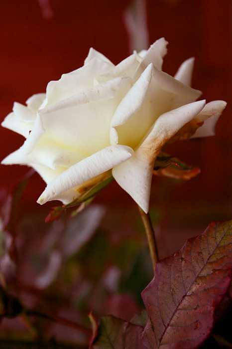 Floral Photograph - White by Ofelia  Arreola