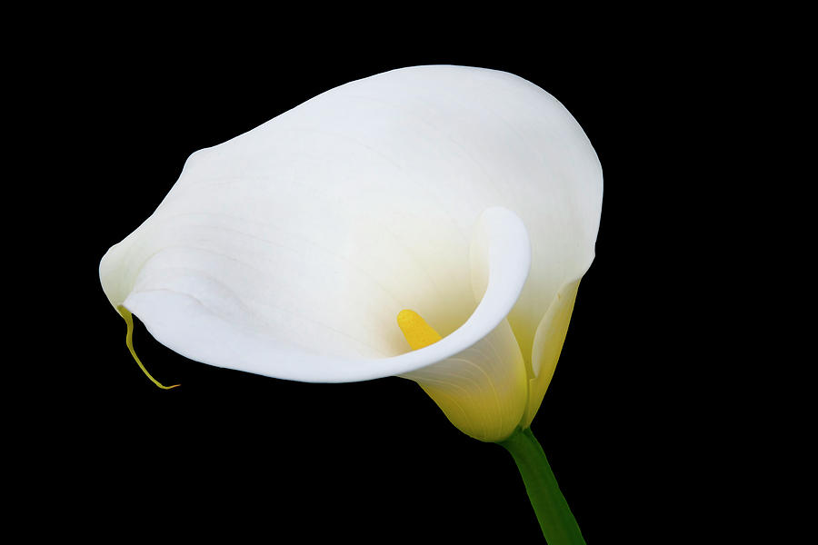 Calla Lily Photograph - White On Black by Gej Jones
