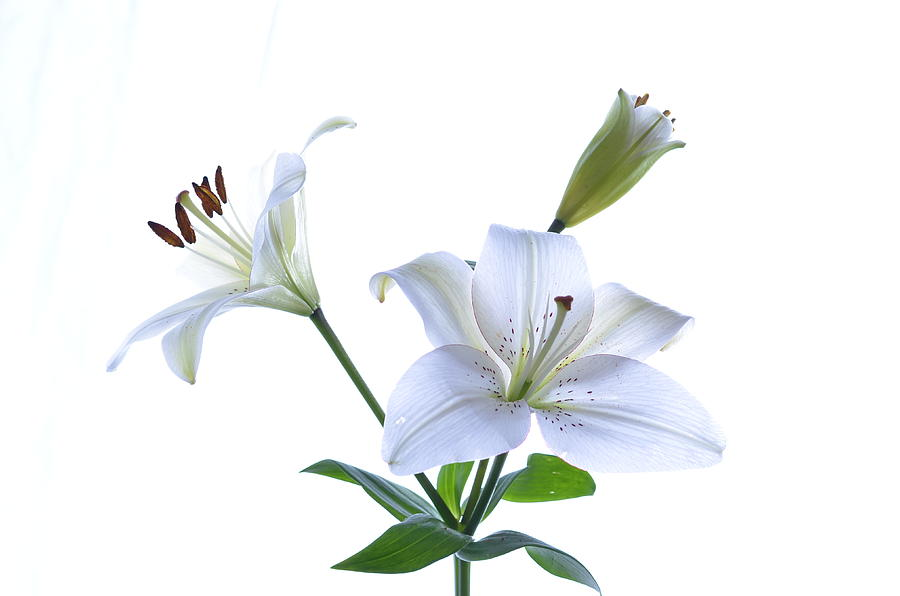 Lily Photograph - White On White Lily by Paulina Roybal