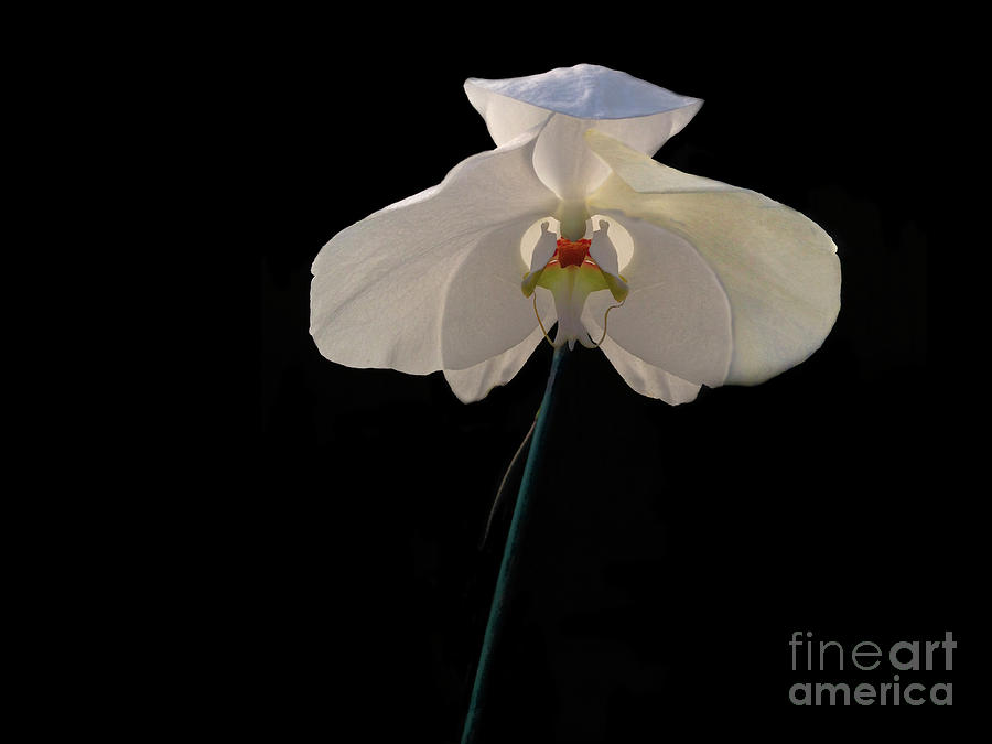 White Orchid 3 by Frank Merrem