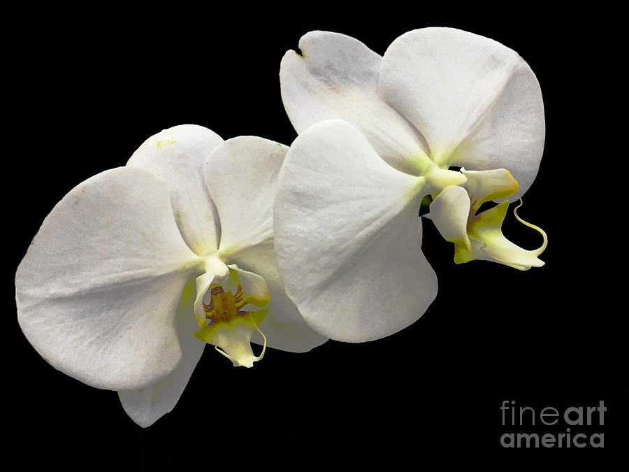 White Orchid 5 by Frank Merrem
