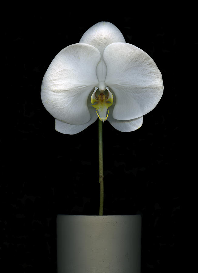 White Orchid in a pot by Christian Slanec