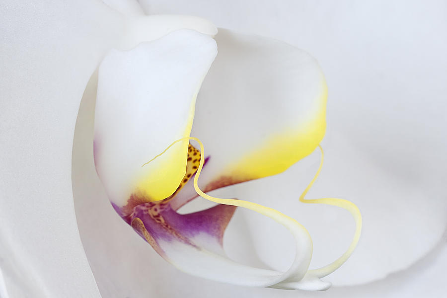 White Orchid Macro by Ken Barrett