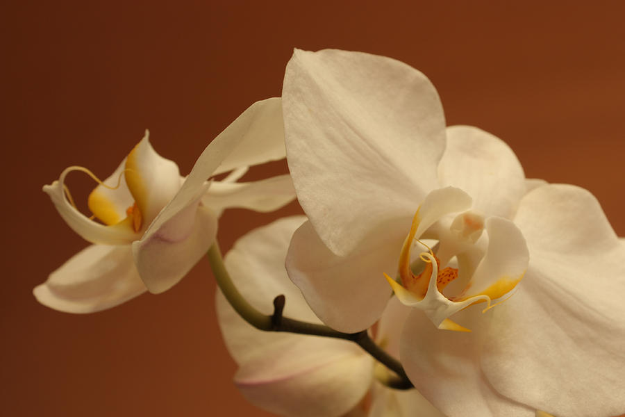 Orchid Photograph - white Orchid by Mario Bennet
