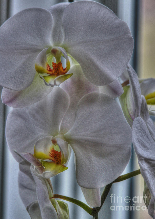 White Orchids Photograph - White Orchids by David Bearden