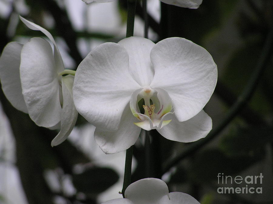 White Orchids by Mary Kobet