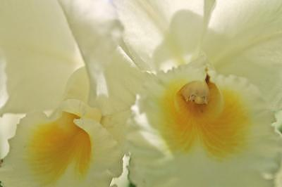 Orchid Photograph - White Orchids Together Forever by Deborah  DeAmroim