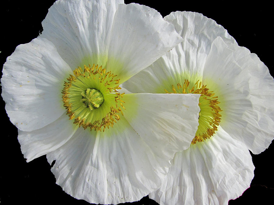 While Oriental Poppy Photograph - White Oriental Poppies by Judith Turner