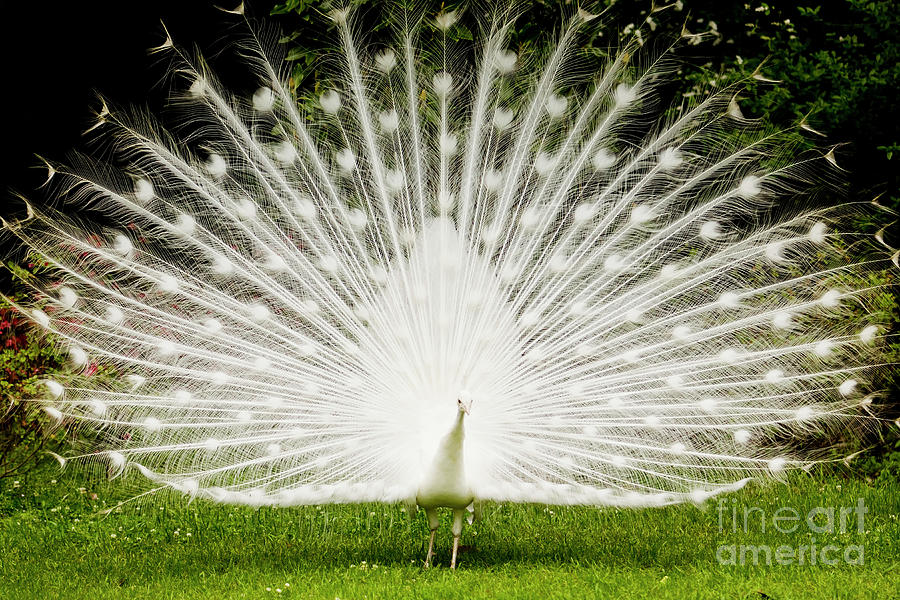 White Peacock Photograph - White Peacock  by Dustin K Ryan