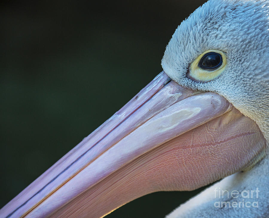 Bill Photograph - White Pelican Close Up by Avalon Fine Art Photography
