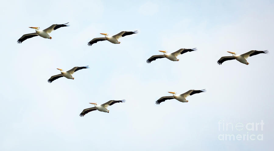 Canon Photograph - White Pelican Flyby by Ricky L Jones