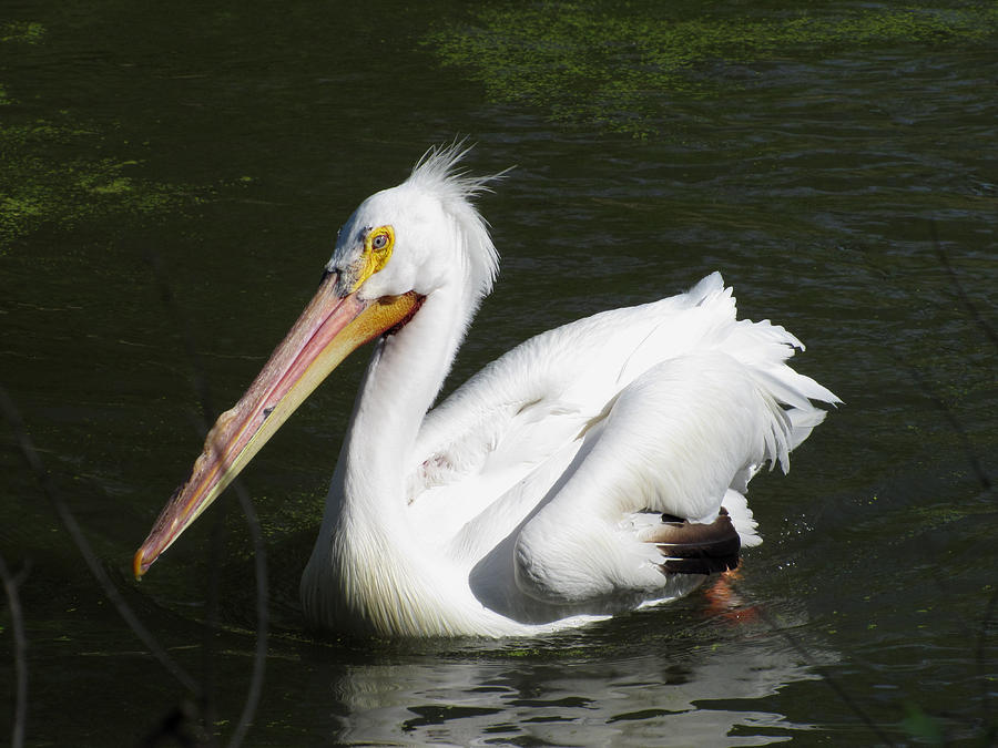 Pelican Photograph - White Pelican by George Jones