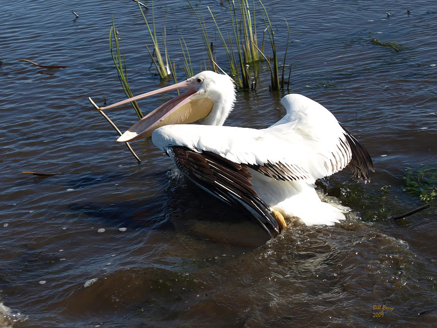 Marsh Photograph - White Pelican In The Marsh by Bill Perry