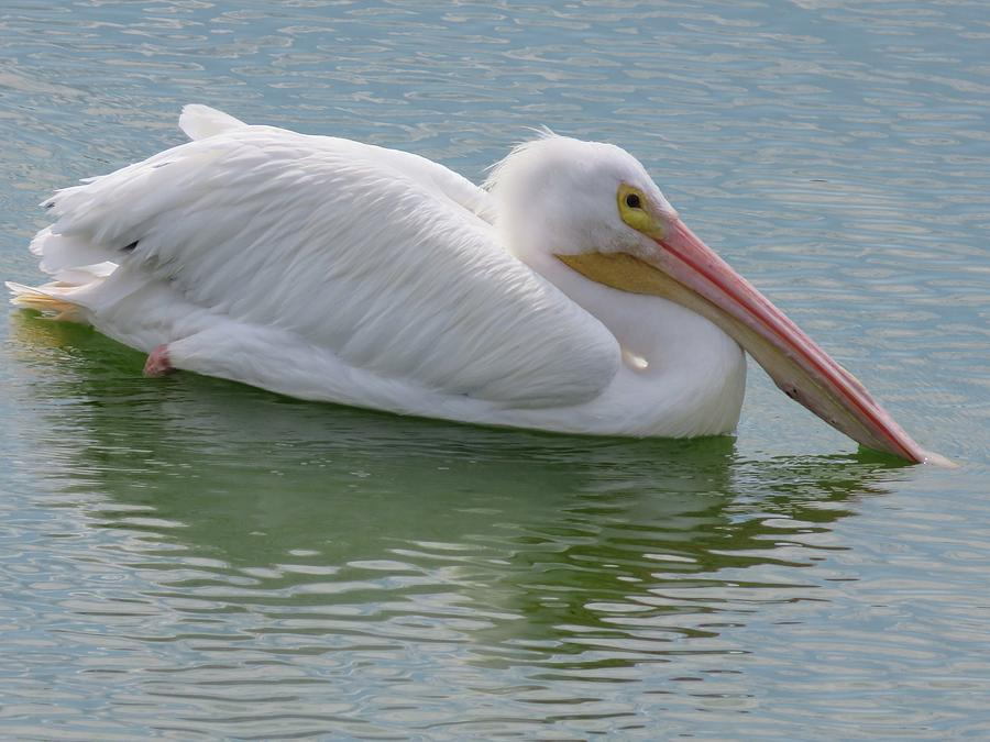 White Pelican by Judith Lauter