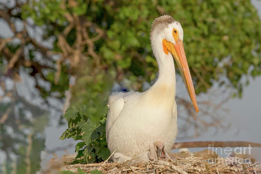 Pelican Photograph - White Pelican With Young by Nikki Vig