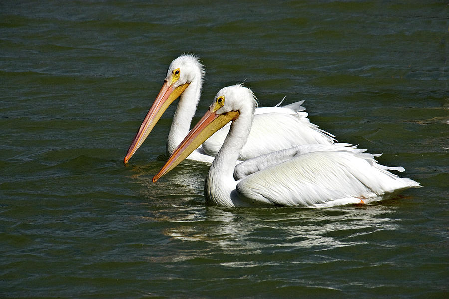 Pelicans Photograph - White Pelicans by Rodney Cammauf