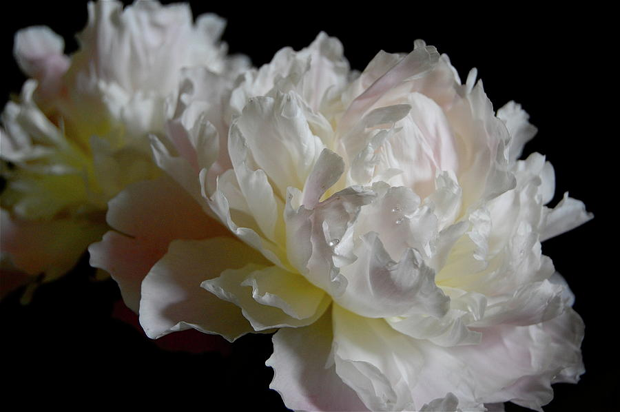 Flower Photograph - White Peonies by David Rothmiller