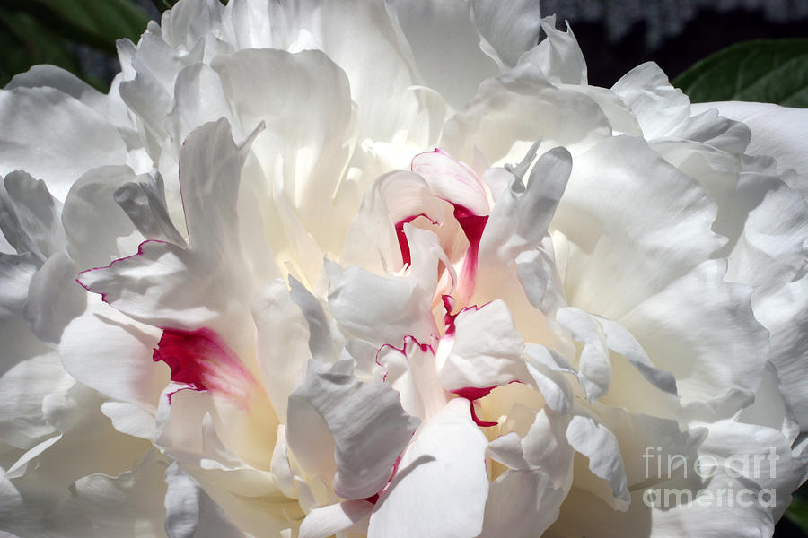 Peony Photograph - White Peony And Red Highlights by Steve Augustin