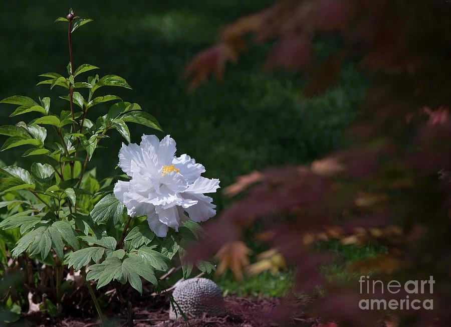 White Photograph - White Peony by David Bearden