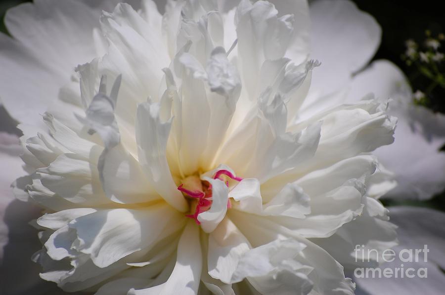 Digital Photography Photograph - White Peony  by David Lane