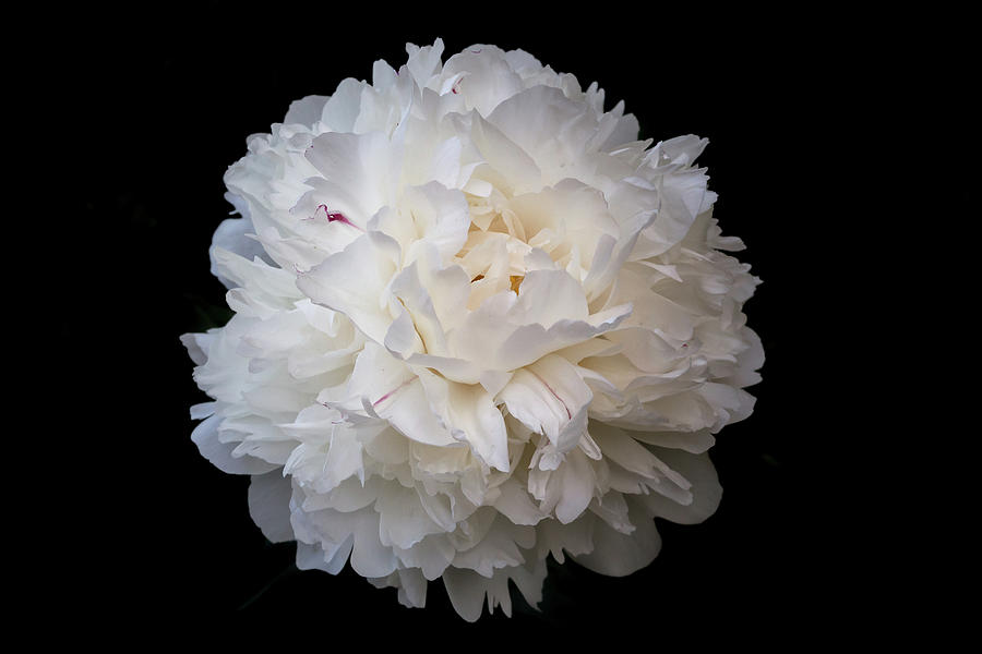 White peony flower photograph by yana reint peony photograph white peony flower by yana reint mightylinksfo Image collections