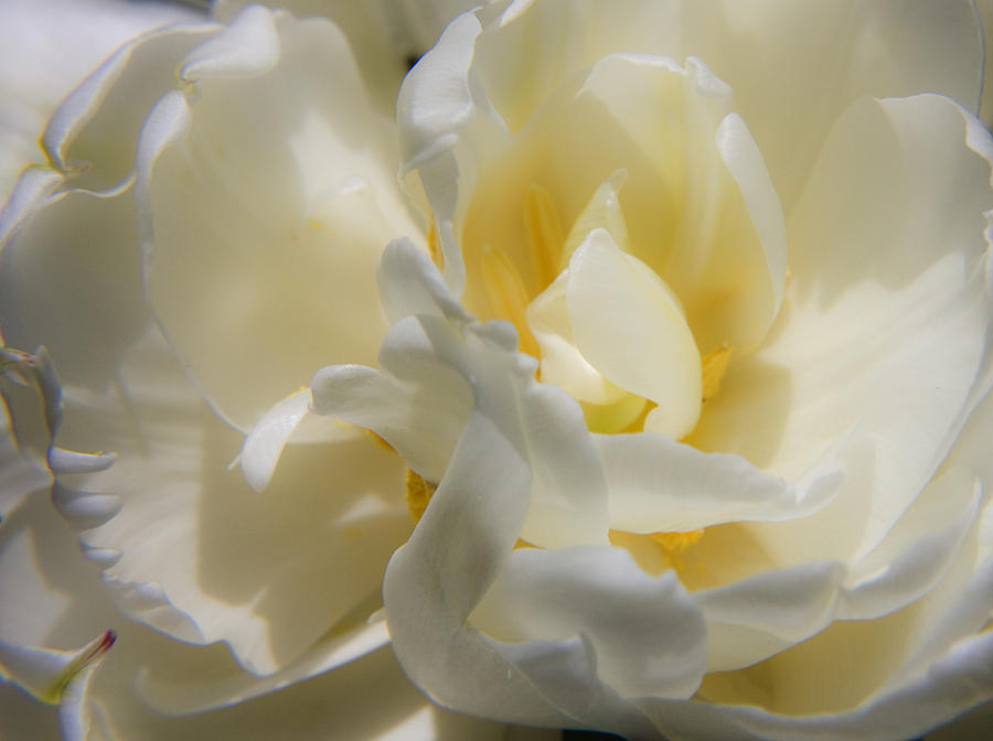 White Photograph - White Peony Tulip Detail by Teresa Mucha