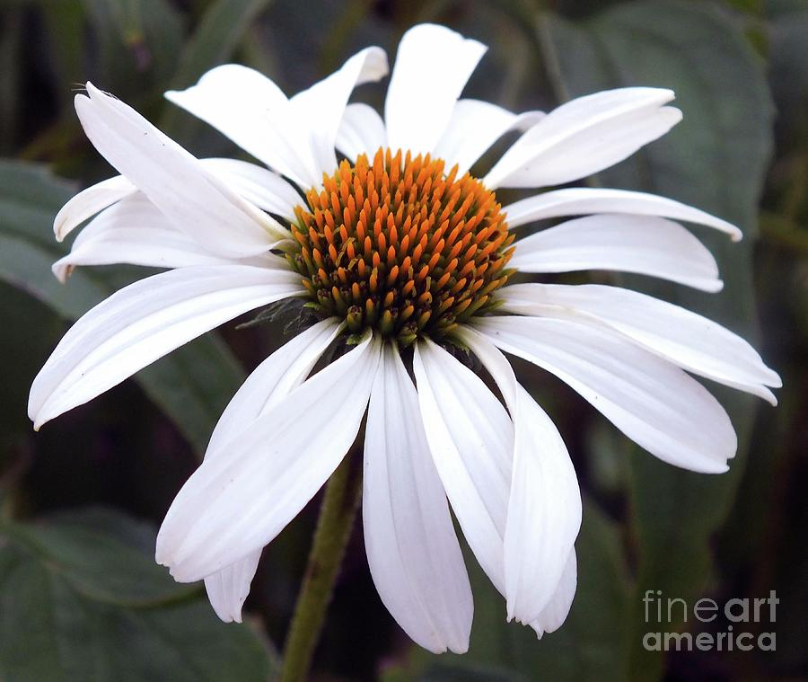 White Perfection - Coneflower Photograph
