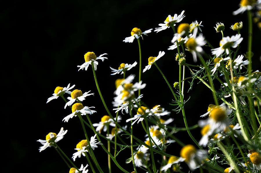 Chamomile Photograph - White Petals by Damijana Cermelj