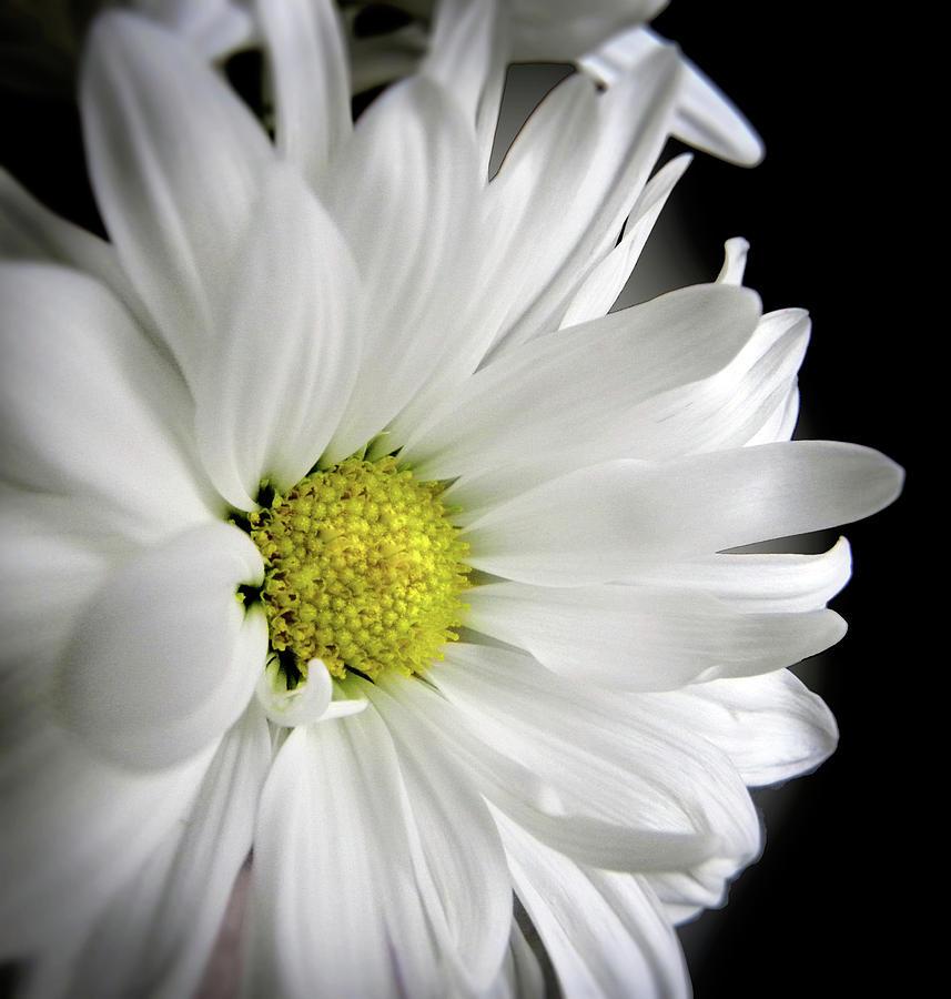 White Flower Photograph - White Petals by Julie Palencia