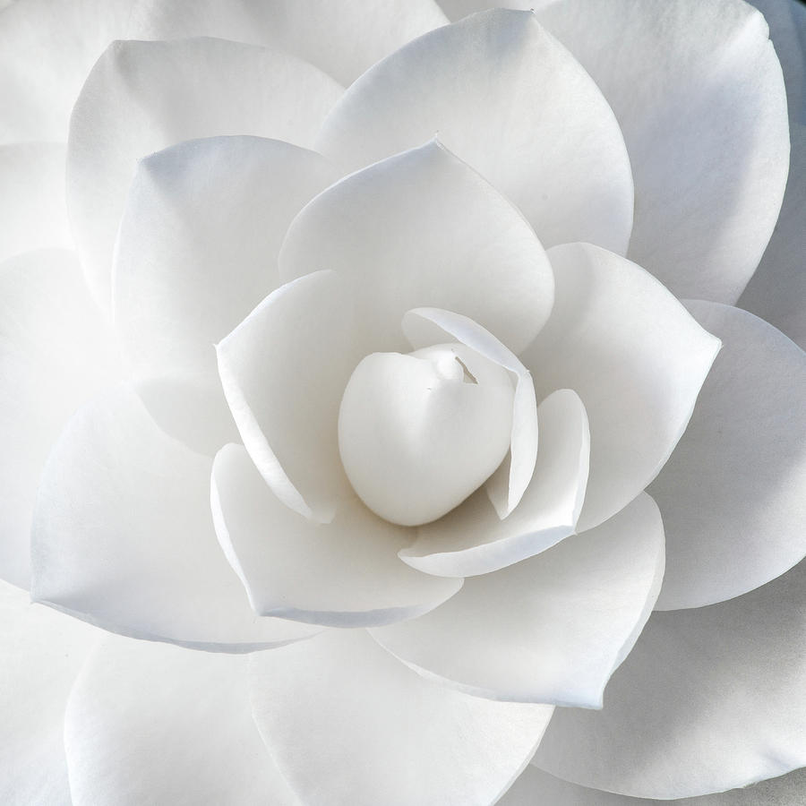 White Petals by Paul Johnson