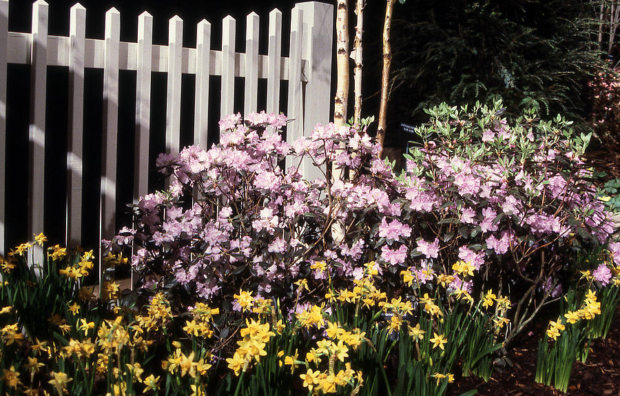 White picket fence and flowers photograph by richard singleton flowers photograph white picket fence and flowers by richard singleton mightylinksfo