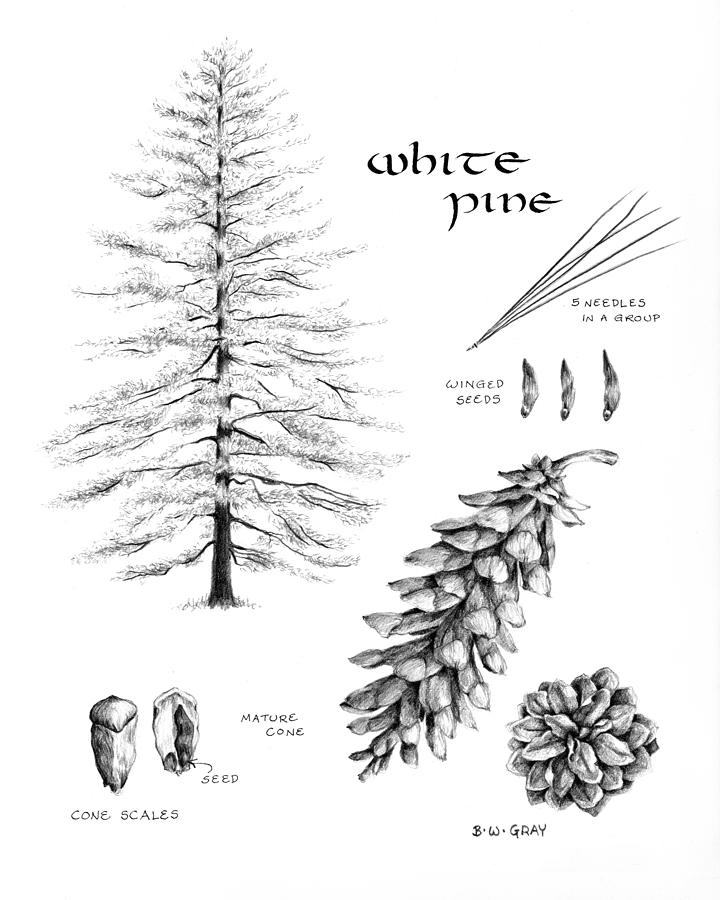 White Pine Study by Betsy Gray