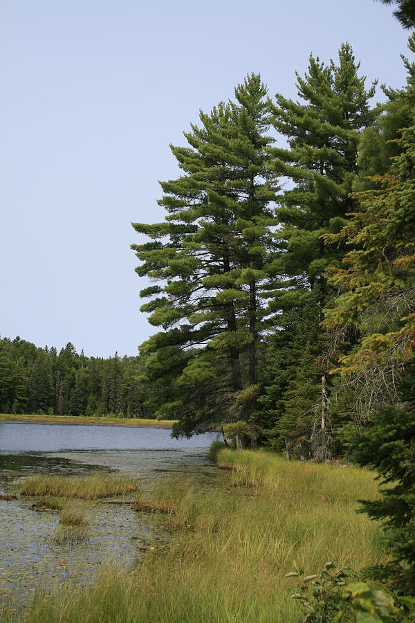 Landscape Photograph - White Pines by Alan Rutherford