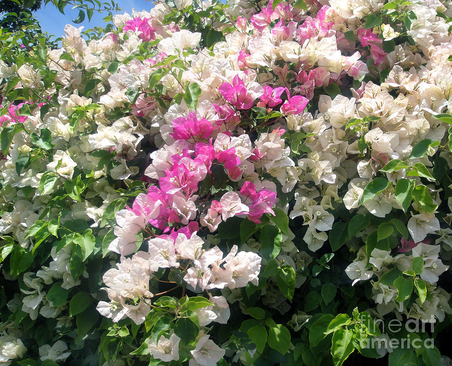 White Pink Flower Bush Photograph By Sofia Metal Queen